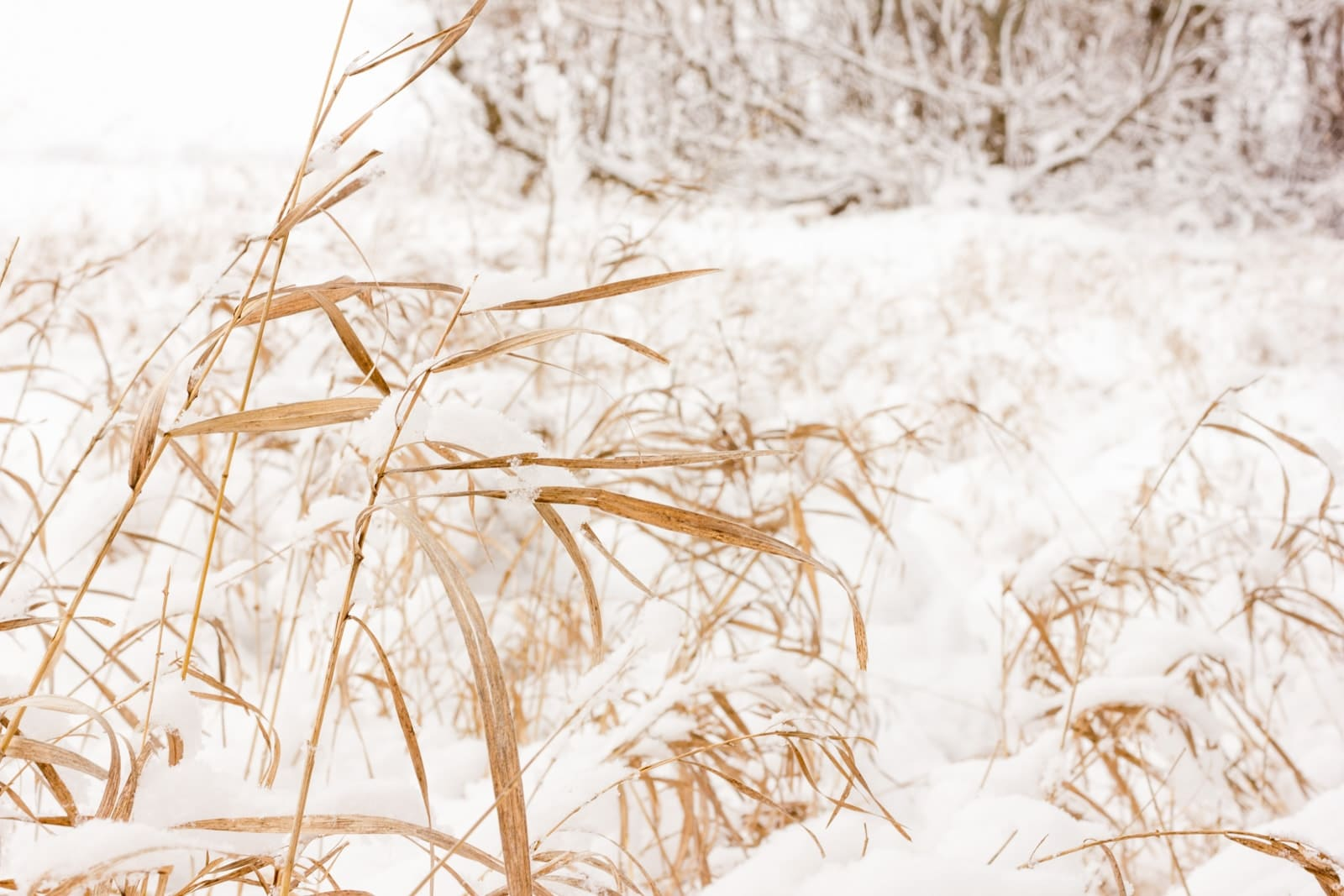 Snow covered prairie grasses